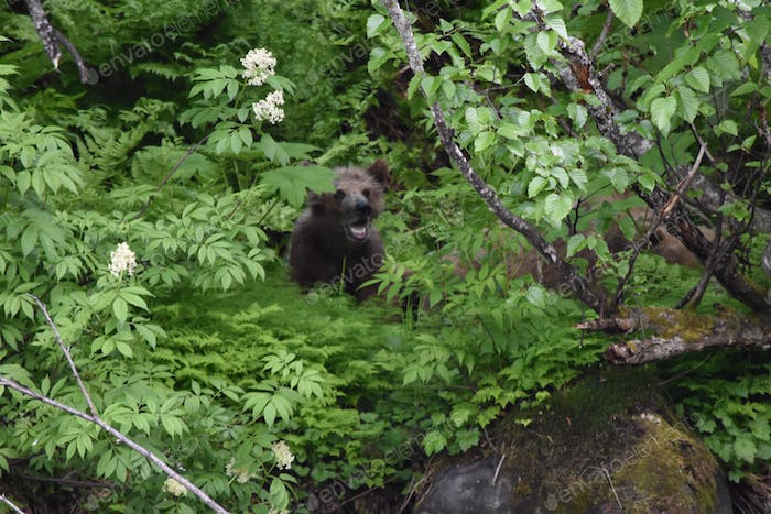 Baby grizzly bear cub hiding in woods