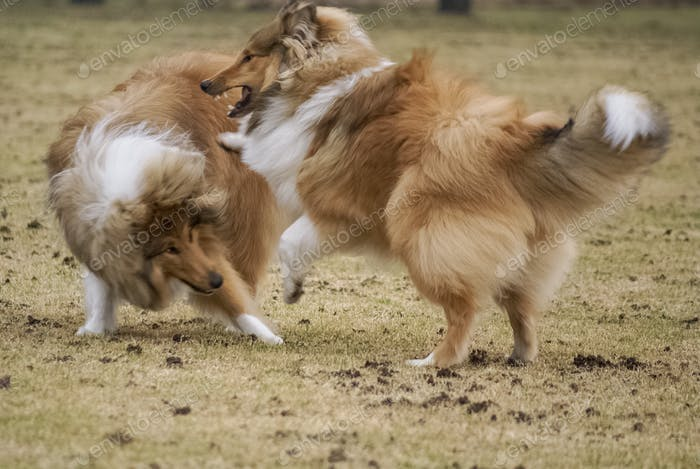 Two rough collies playing
