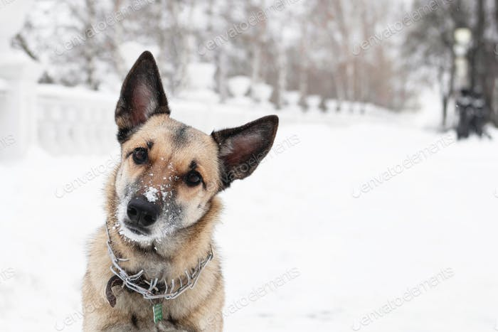 Brown and white short-haired mongrel dog is looking into the camera on a background of a winter