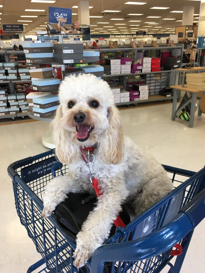 Cute fluffy white poodle dog sitting in a shopping cart at a grocery store