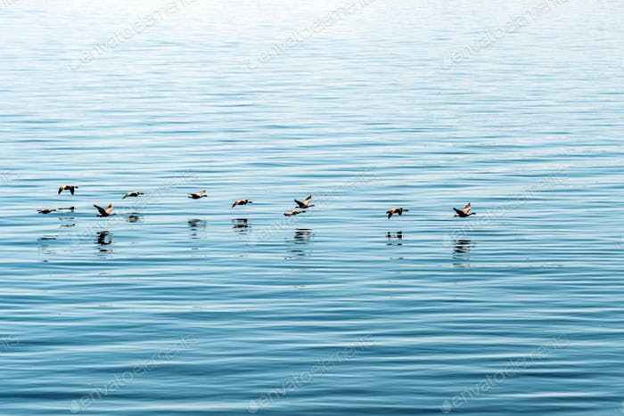 Canada Geese flying just over the surface of glassy blue sea water.
