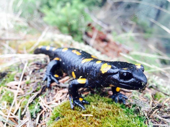Black salamander with yellow spots