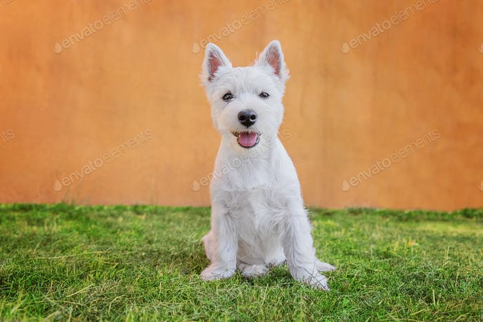 Cute west highland white terrier puppy sitting on the grass and looking at camera