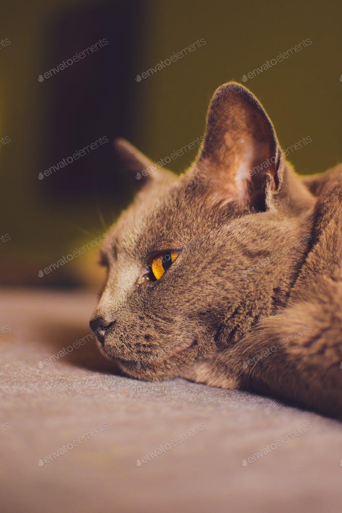 Nette kleine Hauskatze, die auf dem Tisch liegt, um sich entspannen und gleichzeitig aus dem Fenster schauen zu können