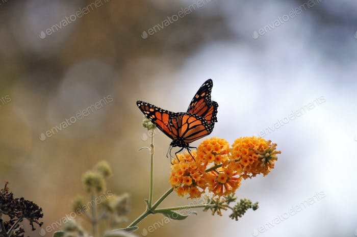 Monarch butterfly on a yellow flower branch