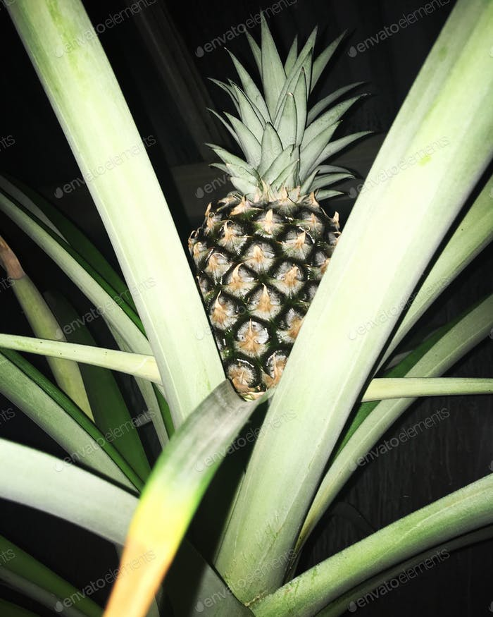 Pineapple growing outside with a light from flash