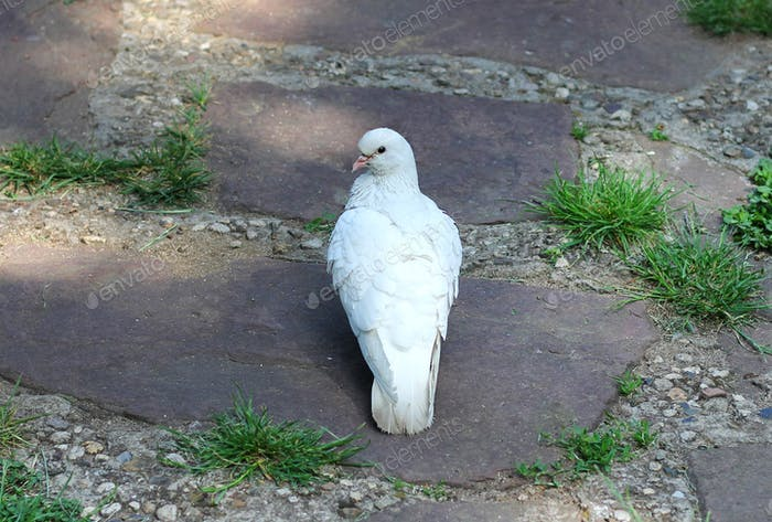 White dove, a pigeon on the ground