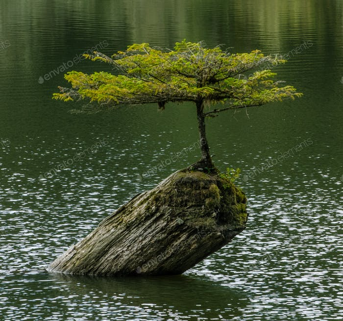 Lonely struggling tree on fairy lake vancouver island british columbia canada