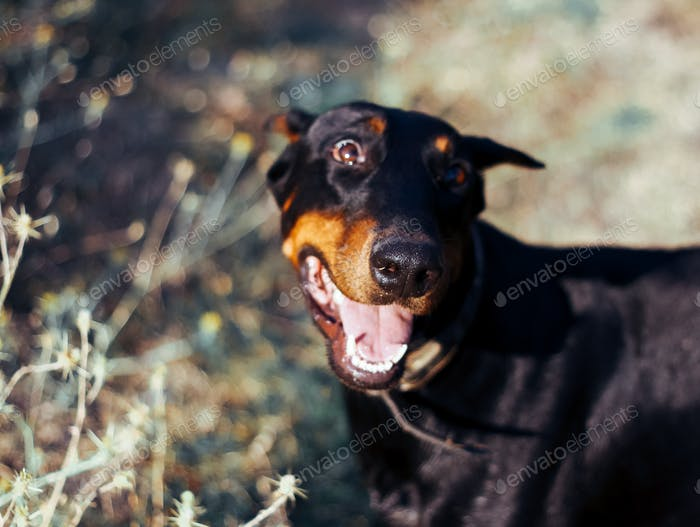 pedigree dog doberman, big black dog, cute dogs