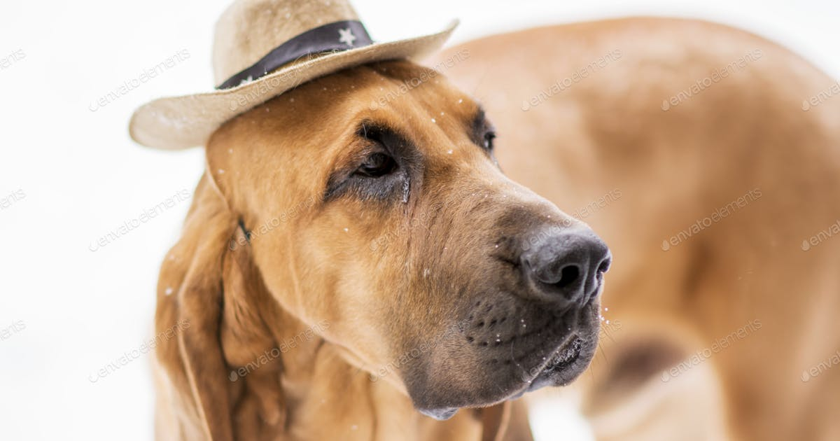 Bloodhound Wearing A Tiny Cowboy Hat Photo By Twenty20photos On Envato Elements 3,000+ vectors, stock photos & psd files. envato elements