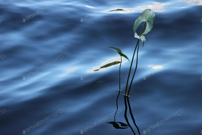 Water plant in peaceful blue water