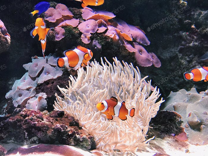 Clownfish swimming in front of anemone.