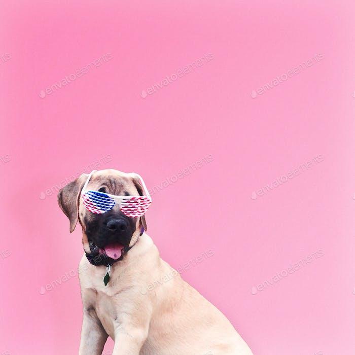 English Mastiff dog wearing American flag sunglasses on pink background.