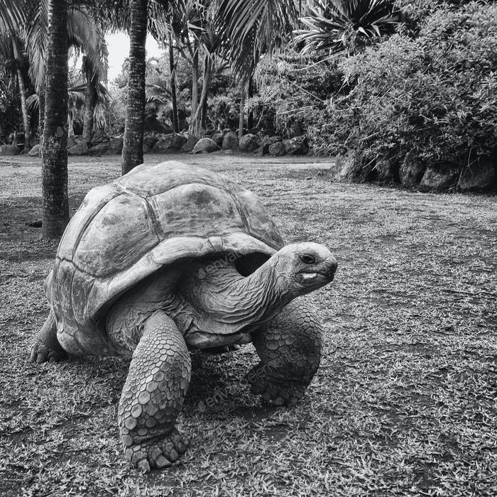 Tortoise in Maurtitius (Black and white)