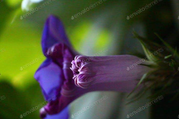 blooming...