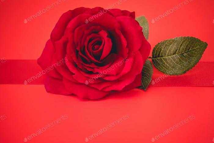 valentine's day celebration. red rose on red background