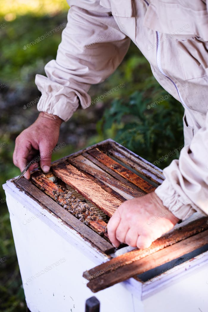 Beekeeper working in apiary, drawing out the honeycomb with bees and honey on it from a hive