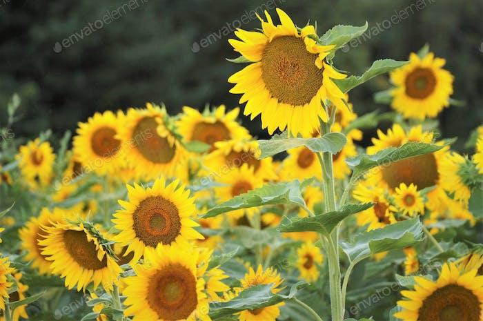 Bright yellow field of sunflowers