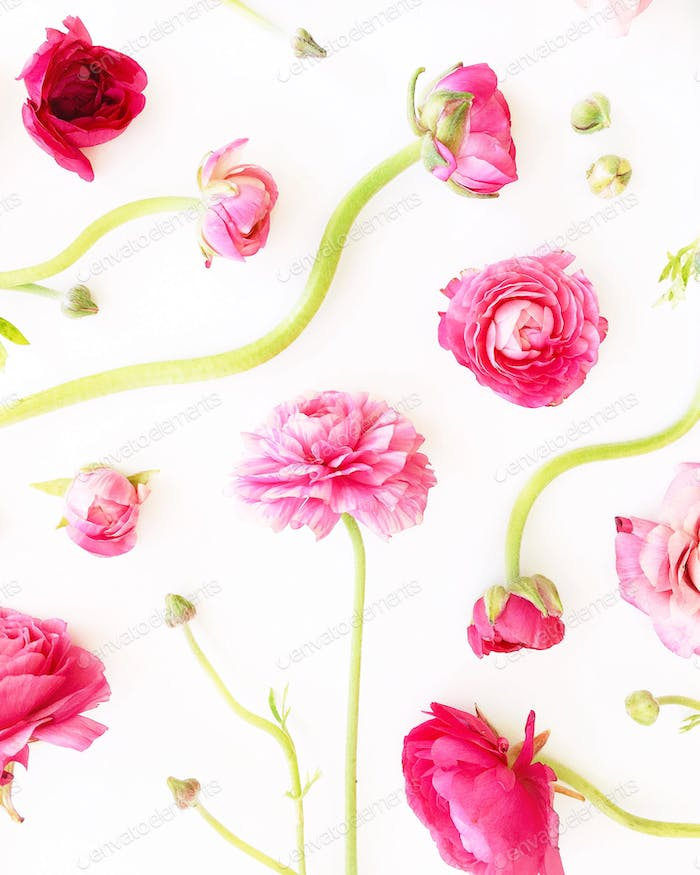 Pink ranunculus flowers blooms and buds arranged on a white background.