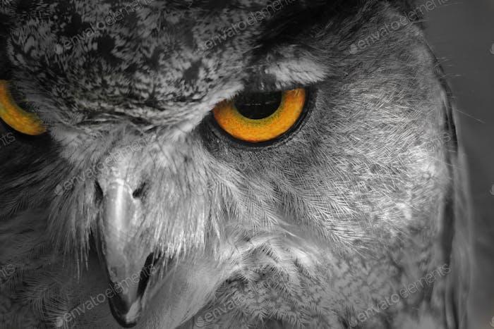Horned Owl - Wild Bird Background - Super Eyesight of a Raptor