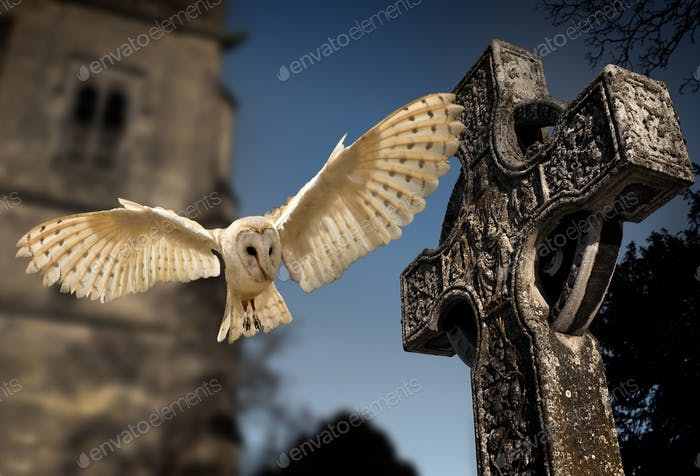 A young Barn Owl in a graveyard in a village in North Yorkshire in the northeast of England