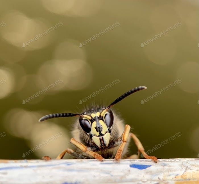 Wasp)