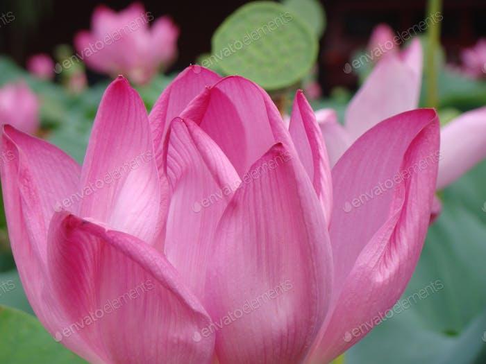Lotus Flowers in Beijing, China