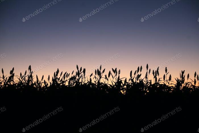 Tallos de maíz o trigo en un campo al atardecer