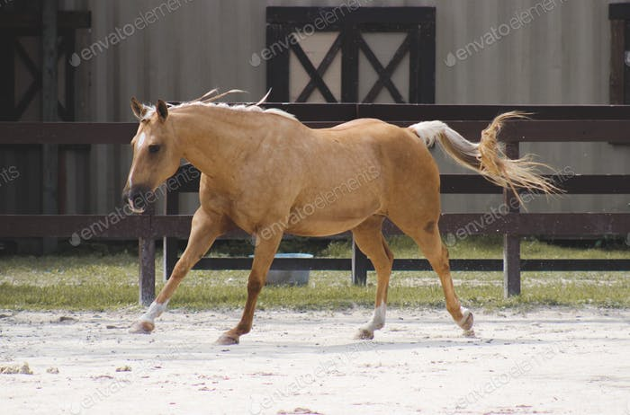 Palomino mare running in an arena