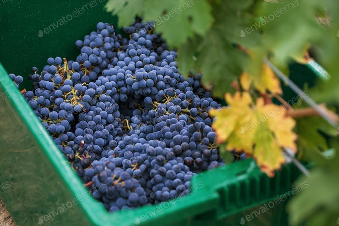 The grapes are harvested for the production of wine.  Background from grapes.