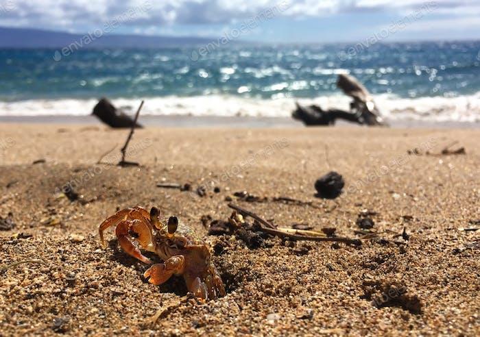 Herr Krabs machte Urlaub am Strand in Maui