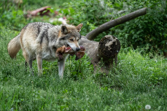 Wolf in the wild showing off it's prize