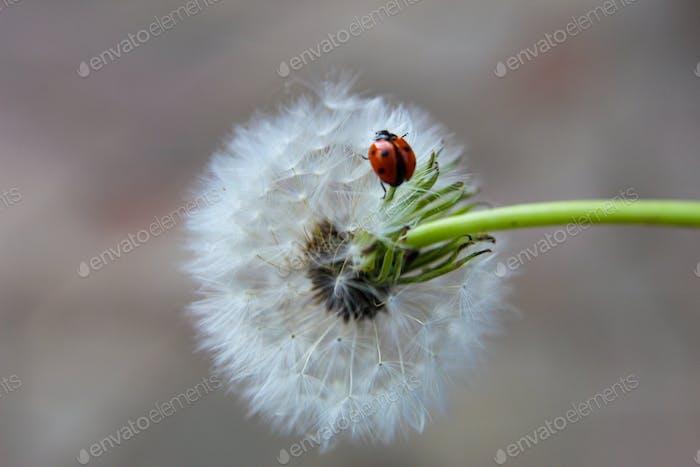 A lady bug resting on a dandelion.