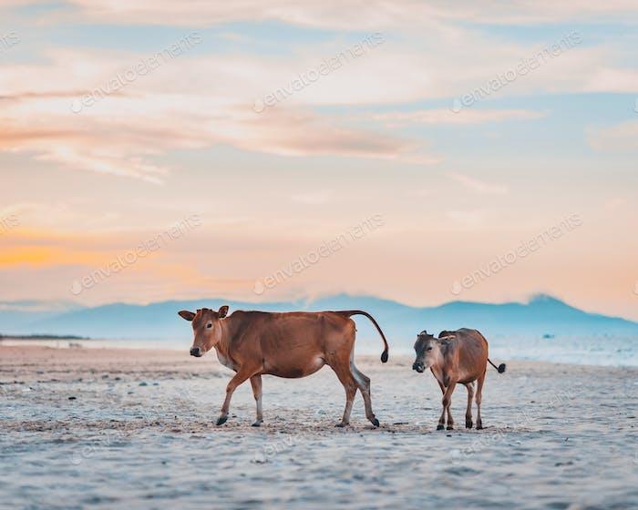 Calves by the sea