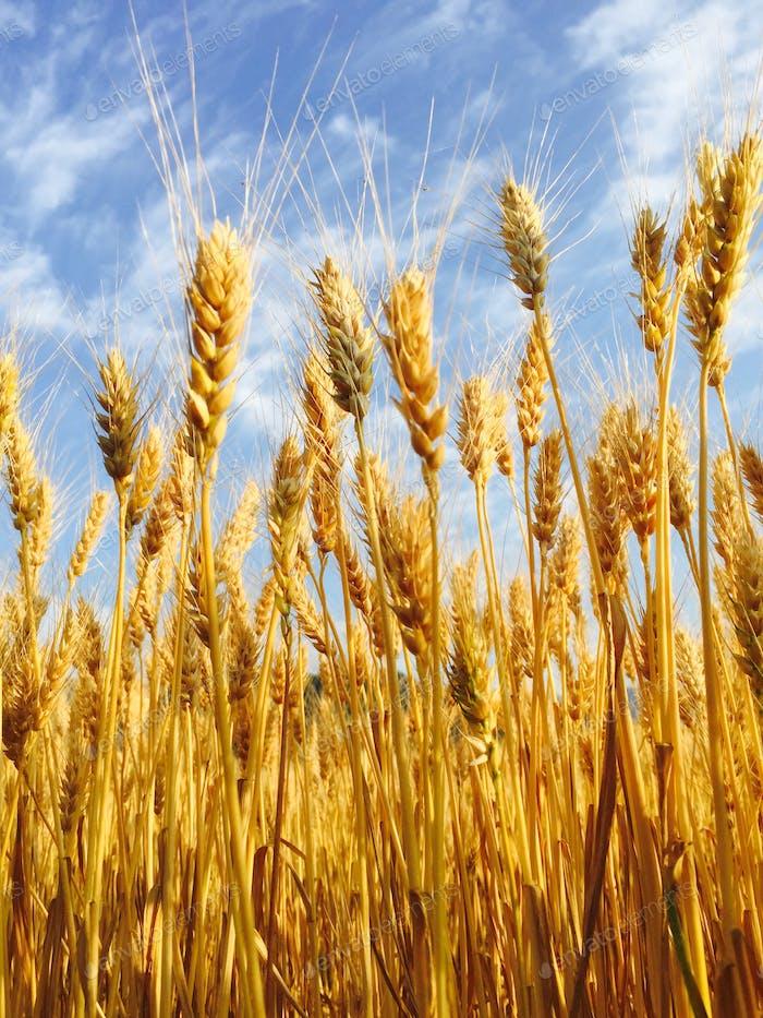 Barley Season...