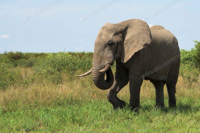 Elephant, at Botswana