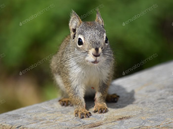 Squirrel depth of field shot