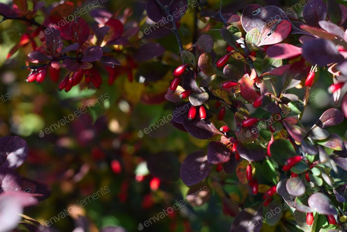 Barberry bushes with red berries in the fall