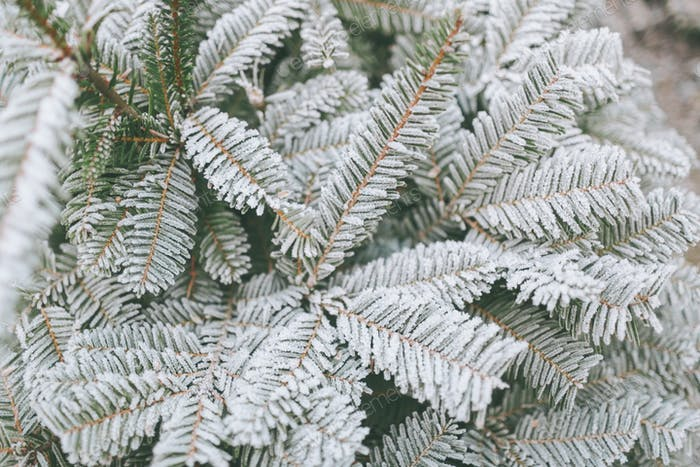 Frost on an evergreen tree.