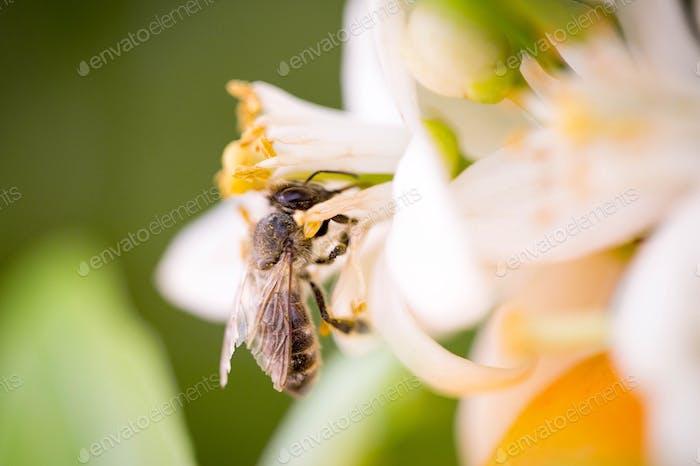 Honey bee on a lemon blossom