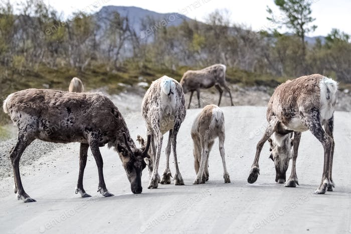 Reindeers licking salt from the road