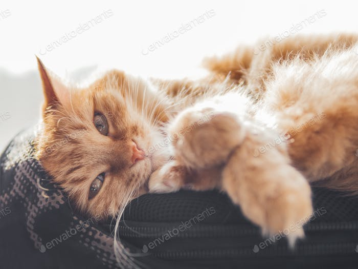 Cute ginger cat sleeps on black backpack on window sill. Fluffy pet has nap on rucksack.