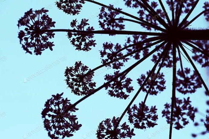 Silhouette of wildflower