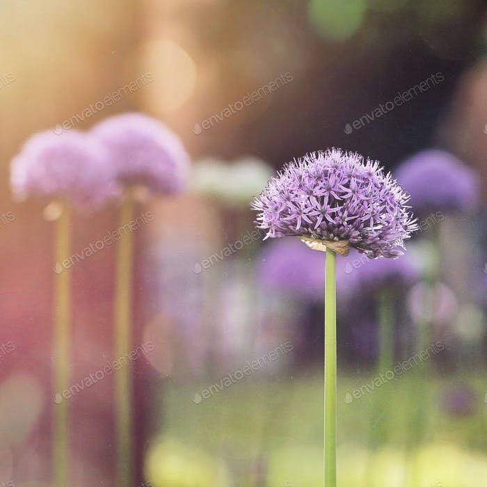 Alliums in Blüte
