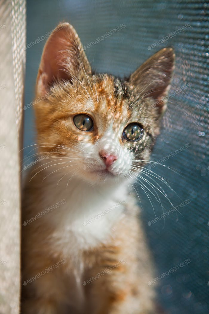 Closeup portrait of red kitten in natural light, pet looking at camera. Domestic animal photo