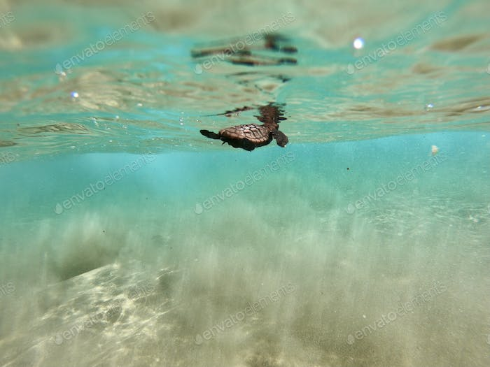 Recently-hatched loggerhead turtle hatchling swimming out to sea.