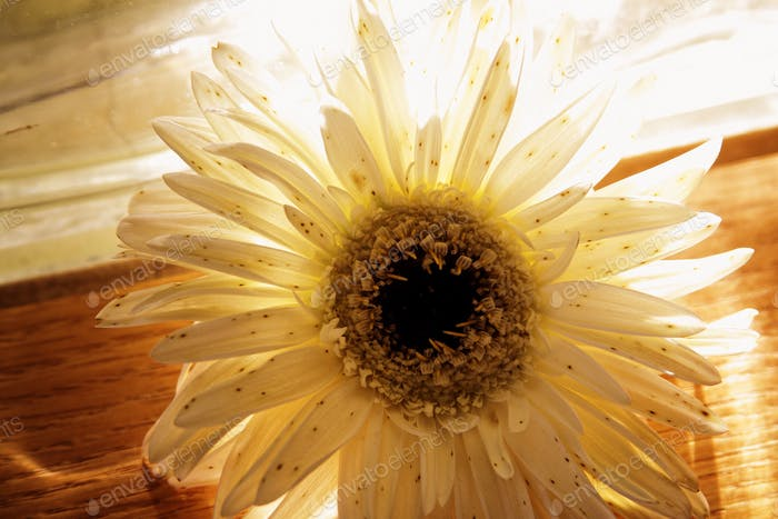 Gerber daisy in the light