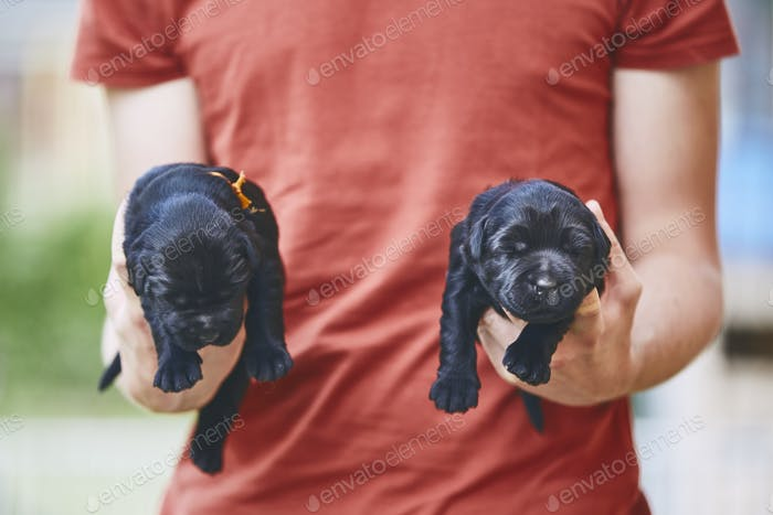 Newborns of dog. Man carrying two puppies of purebred Giant Schnauzer.