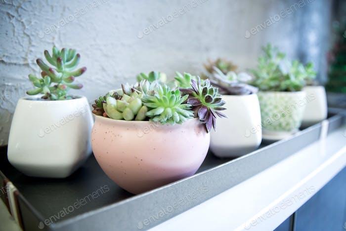Succulent plants in planters