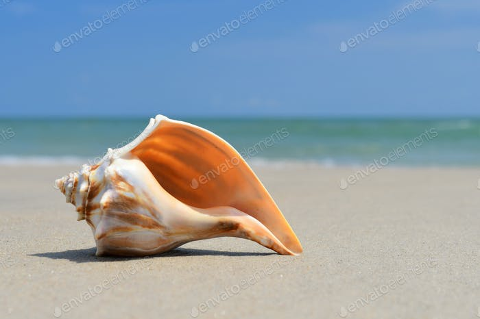 Seashell laying on the beach sand at the ocean